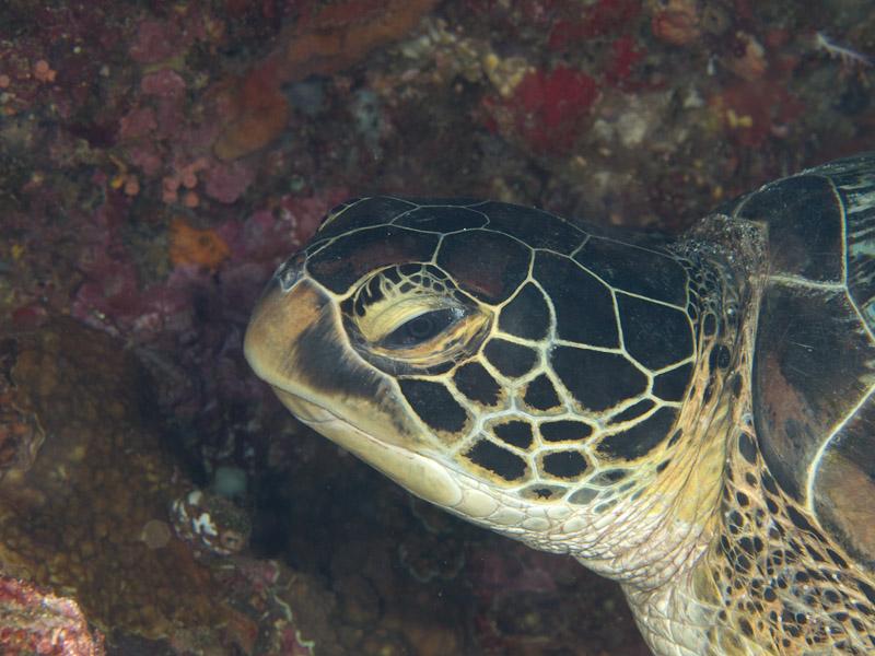 Photo at Lekuan II:  Green Turtle