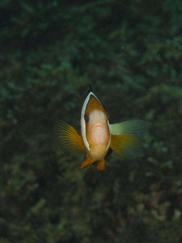 Photo at Molas Wreck:  Yellowtail clownfish