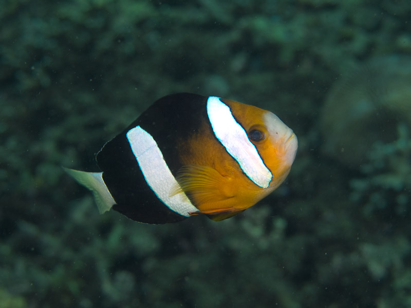 Photo at Molas Wreck:  Yellowtail clownfish