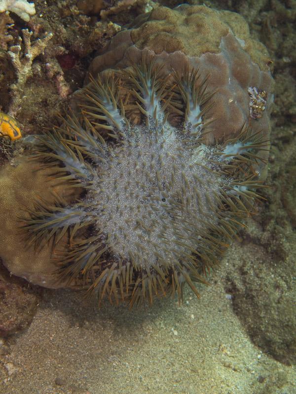 Photo at Molas Wreck:  Crown of Thorns starfish