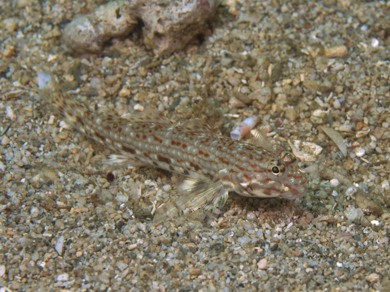 Photo at Molas Wreck:  Decorated goby