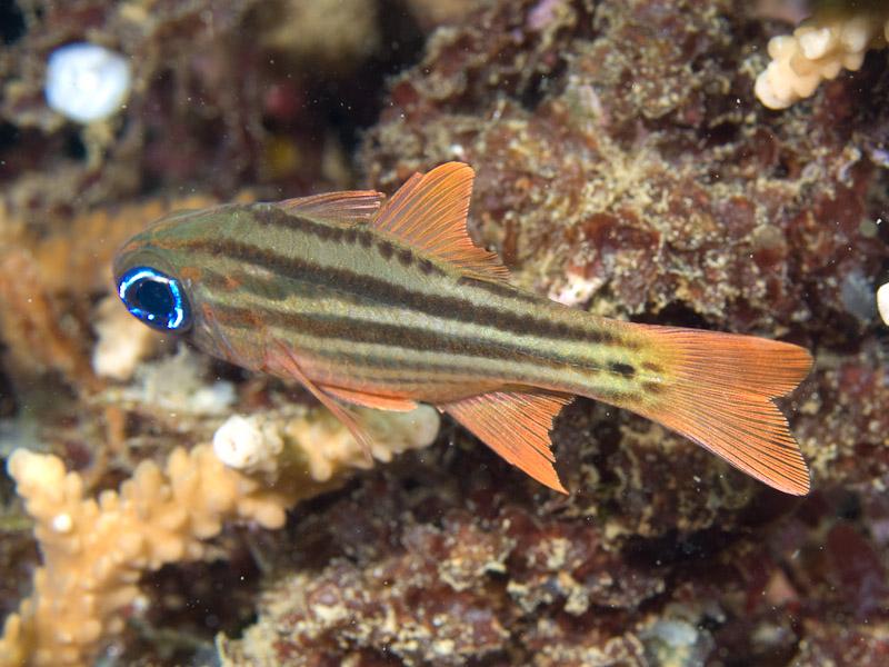 Photo at Molas Wreck:  Cardinalfish