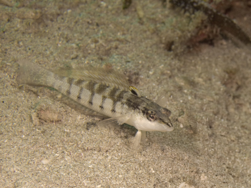 Photo at Tasik Ria House Reef - Critter Circus:  Nosestripe sandperch