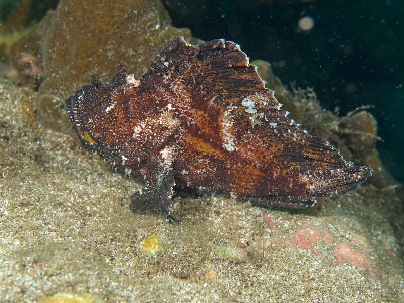 Photo at Tanjung Kelapa:  Leaf scorpionfish