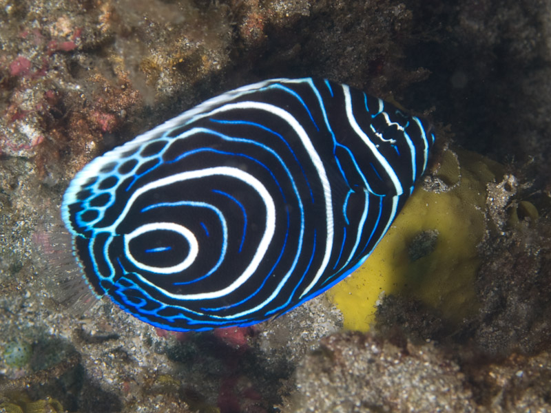 Photo at Tanjung Kelapa:  Emperor angelfish
