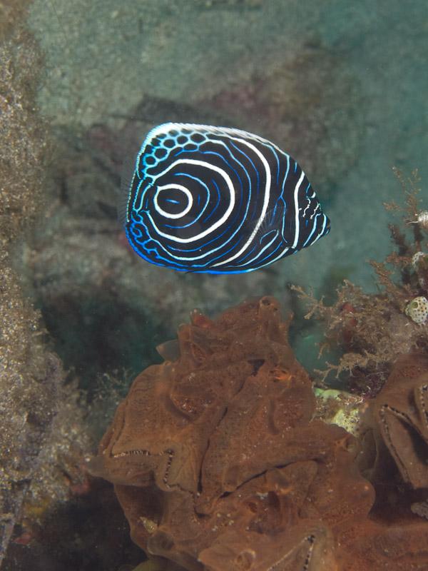 Photo at Tanjung Kelapa:  Emperor angelfish