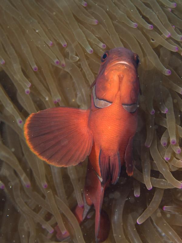 Photo at Tanjung Kelapa:  Spinecheek anemonefish