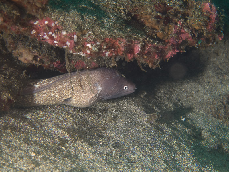 Photo at Tanjung Kelapa:  Greyface moray