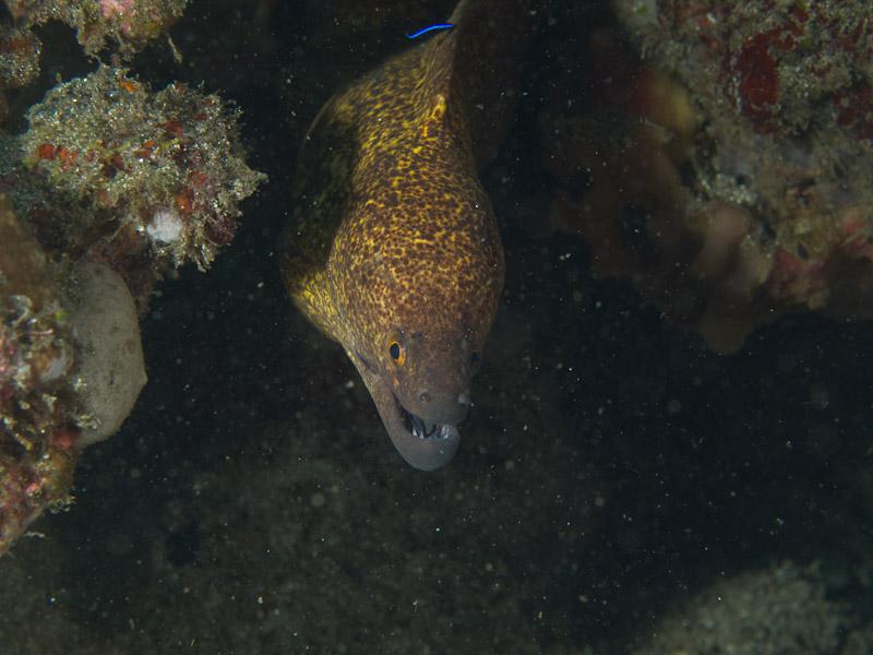 Photo at Tanjung Kelapa:  Yellow-edged moray
