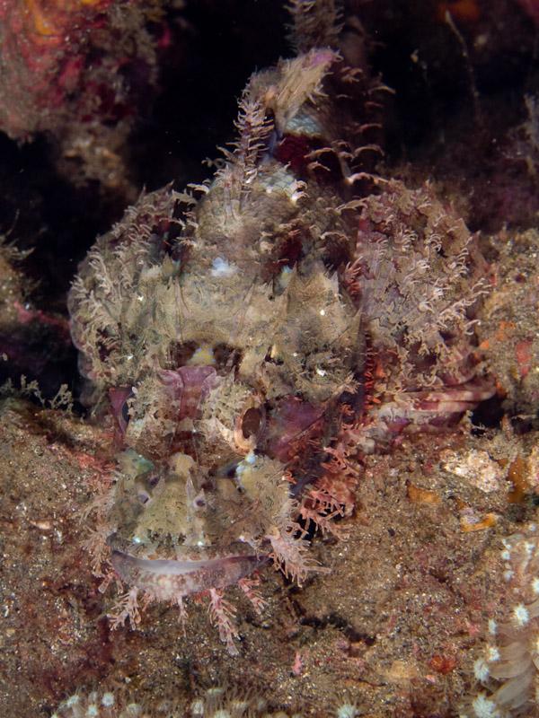 Photo at Tanjung Kelapa:  Tasselled scorpionfish