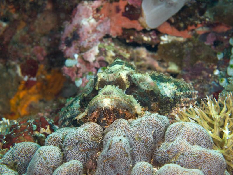 Photo at Muka Gereja:  Tasselled scorpionfish