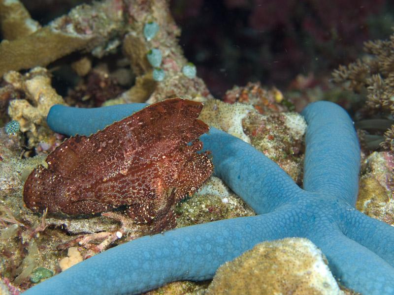 Photo at Muka Gereja:  Leaf scorpionfish