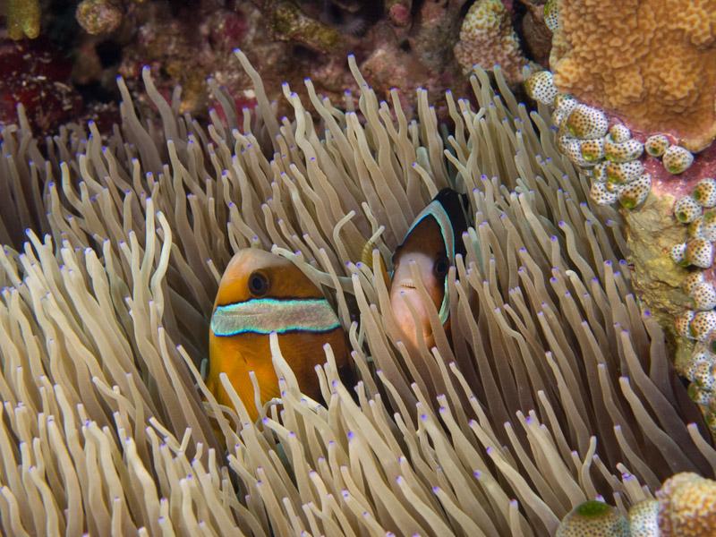Photo at Muka Gereja:  Yellowtail clownfish