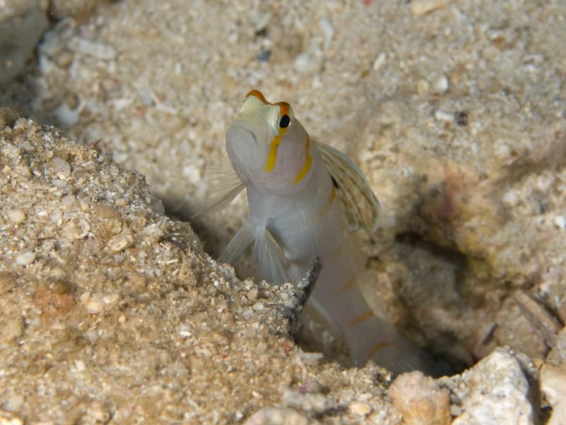 Photo at Celah Celah:  Randall's prawn-goby
