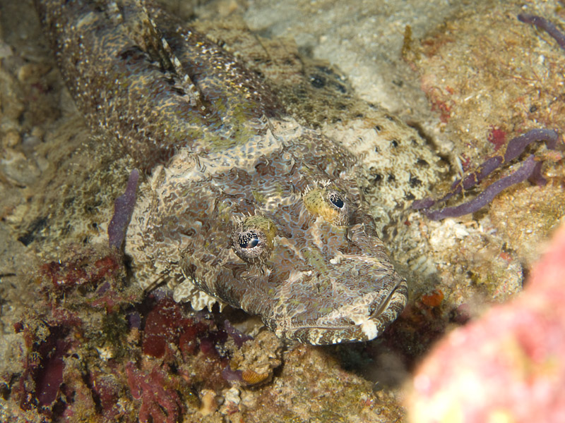 Photo at Celah Celah:  Crocodile fish