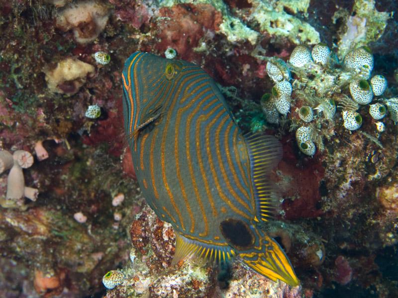 Photo at Celah Celah:  Orange-lined triggerfish