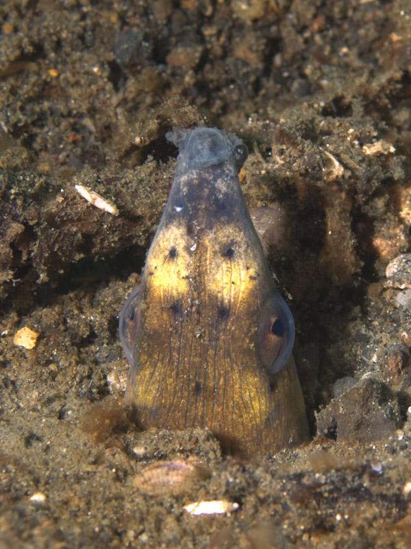 Photo at Tandu Rusa:  Highfin snake eel