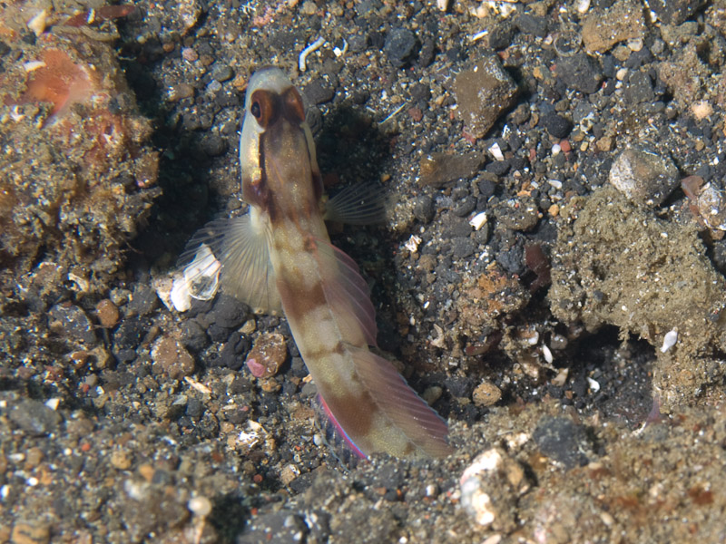 Photo at Tandu Rusa:  Masked shrimpgoby