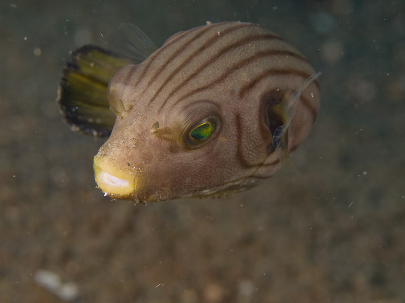 Photo at Tandu Rusa:  Narrow-lined puffer