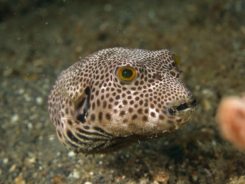 Photo at Tandu Rusa:  Starry toadfish