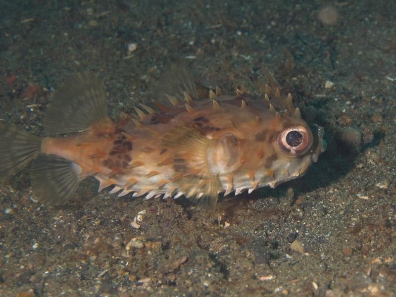 Photo at Tandu Rusa:  Birdbeak burrfish