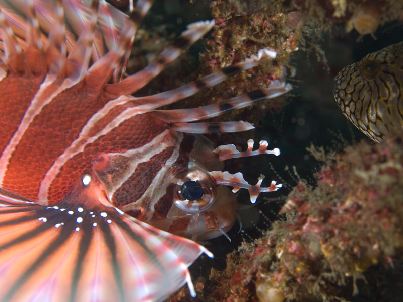 Photo at Magic Crack:  Zebra turkeyfish