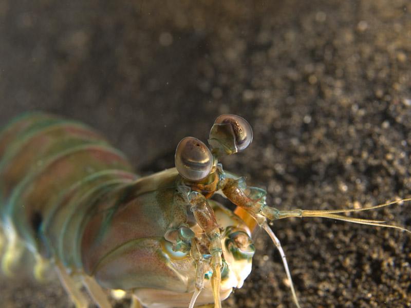 Photo at Magic Crack:  Mantis shrimp
