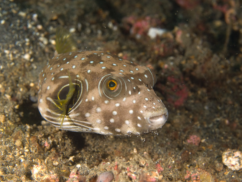 Photo at Magic Crack:  White-spotted puffer