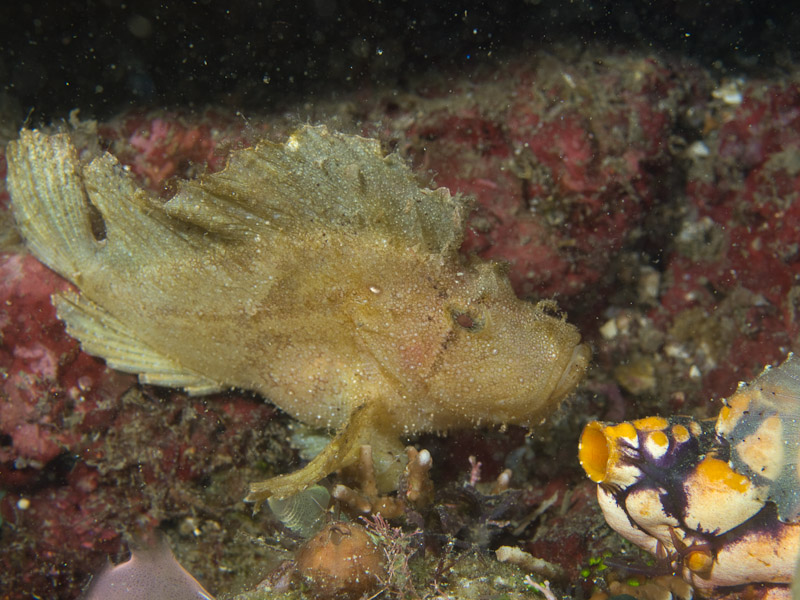 Photo at Magic Crack:  Leaf scorpionfish