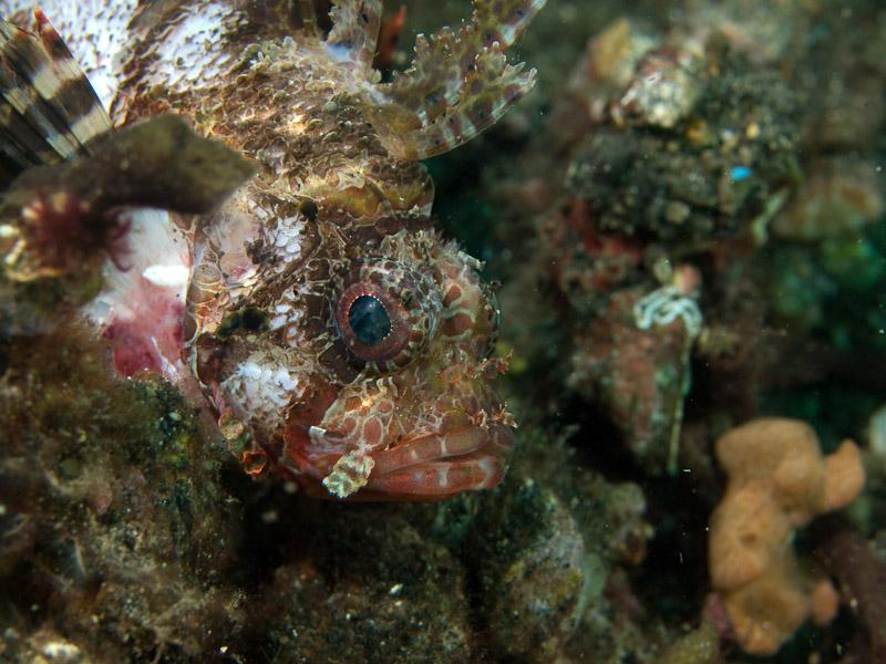 Photo at Jahir I:  Shortfin turkeyfish