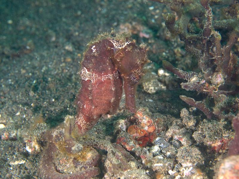Photo at Jahir I:  Spotted seahorse
