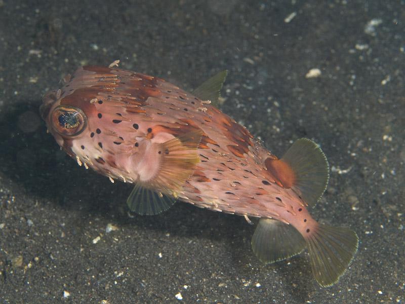 Photo at Jahir I:  Long-spine porcupinefish