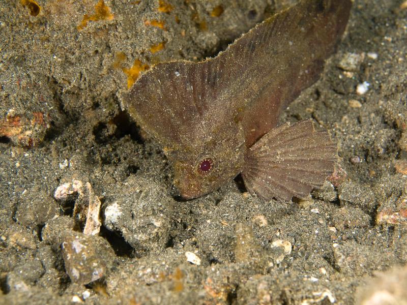 Photo at Jahir I:  Cockatoo waspfish
