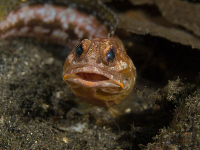 Photo at Jahir I:  Solor jawfish