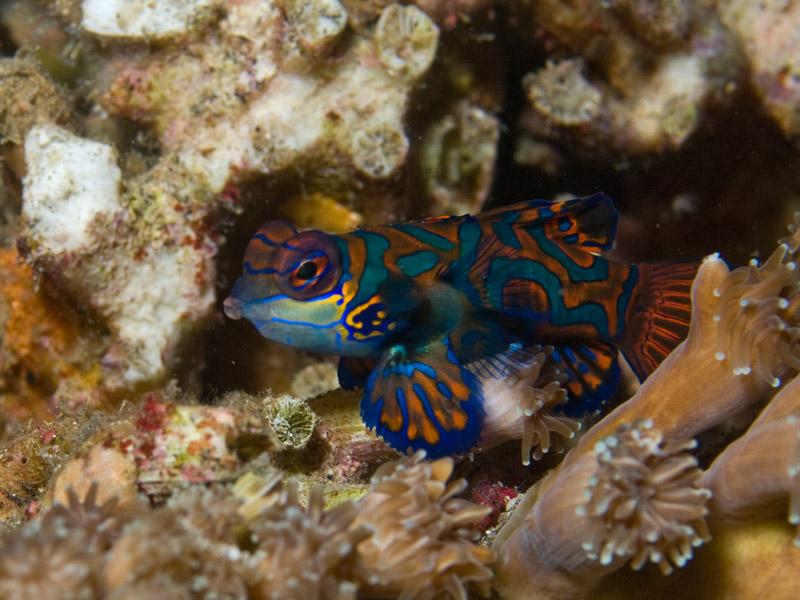 Photo at Aer Prang:  Mandarinfish