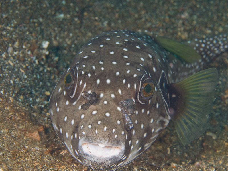 Photo at Makewide:  White-spotted puffer