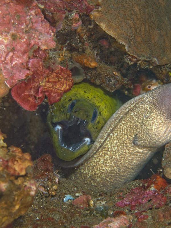 Photo at Makewide:  Greyface moray,Yellow moray
