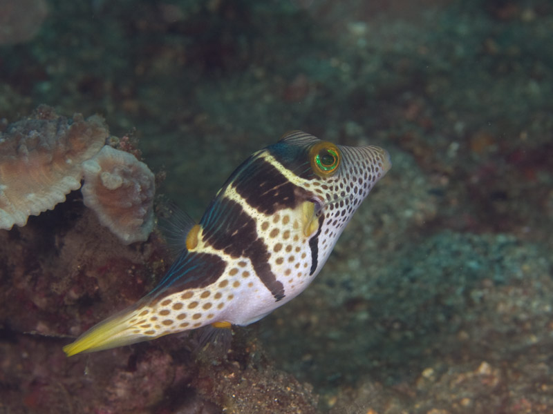 Photo at Makewide:  Valentinni's sharpnose puffer