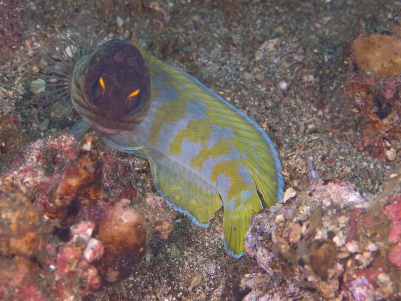 Photo at Makewide:  Yellowbarred jawfish