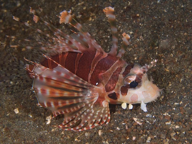 Photo at Aw Shucks:  Zebra turkeyfish