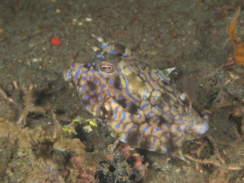 Photo at Aw Shucks:  Thornback cowfish