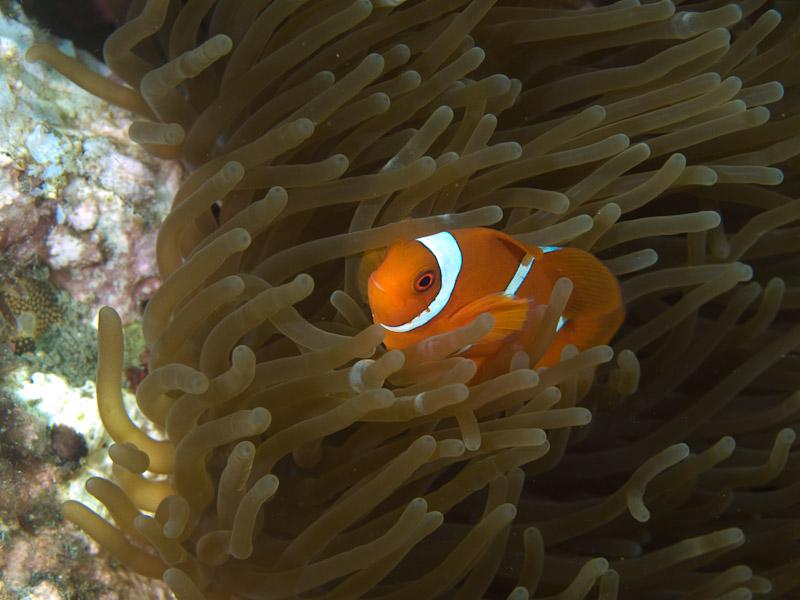 Photo at Aw Shucks:  Spinecheek anemonefish