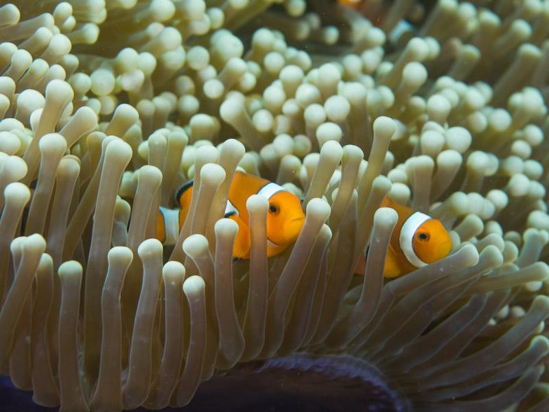 Photo at Aw Shucks:  Clown anemonefish