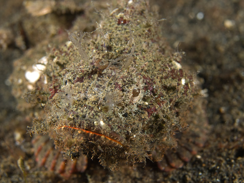 Photo at Retak Larry:  Scorpionfish