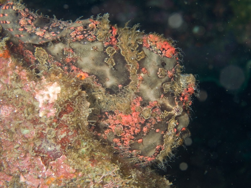 Photo at Retak Larry:  Frogfish