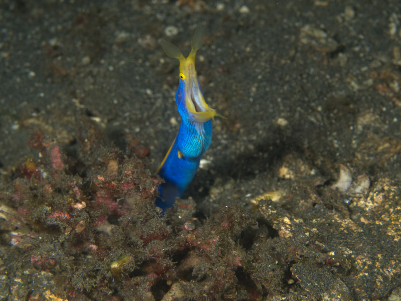 Photo at Retak Larry:  Ribbon moray