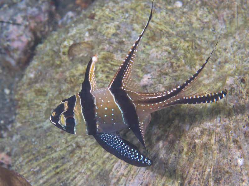 Photo at Retak Larry:  Banggai cardinalfish