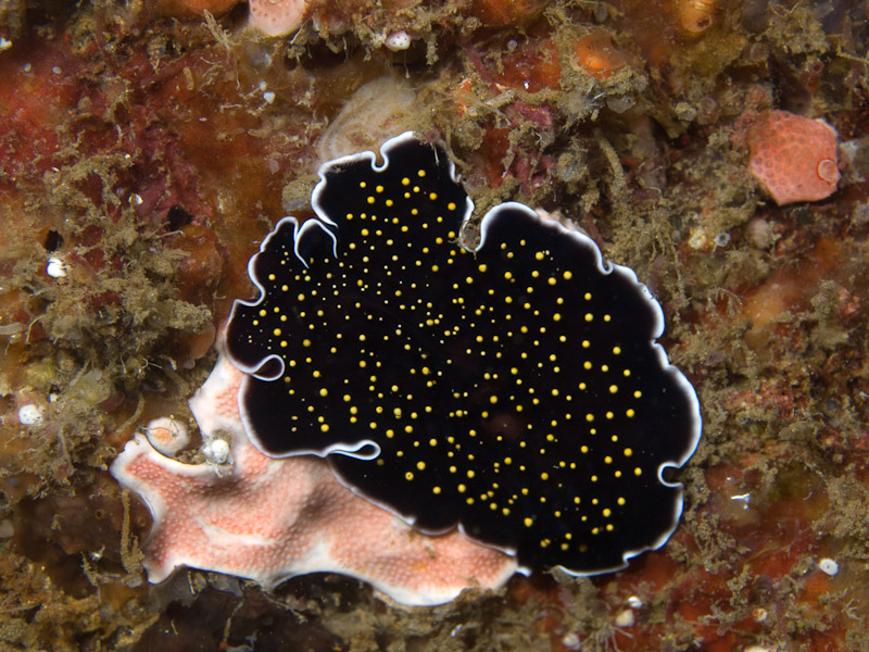 Photo at Kavpal Indah:  Gold-dottted flatworm