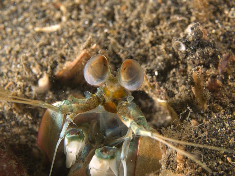 Photo at Jahir I:  Mantis shrimp