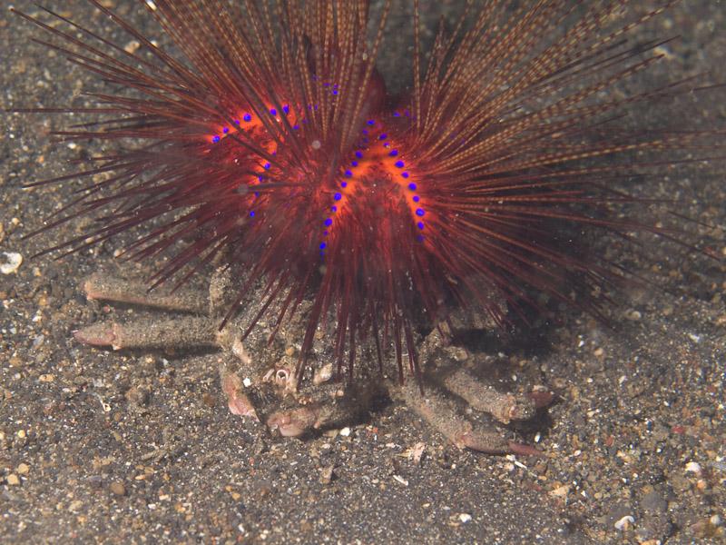 Photo at Jahir I:  Sea Urchin Crab